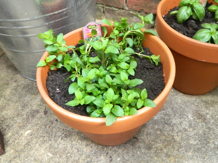 Outdoor Patio Herb Garden - Peppermint