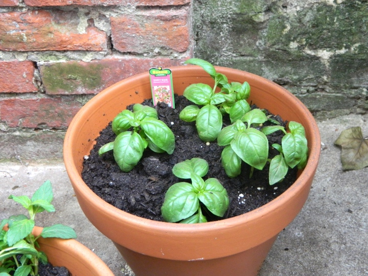 Outdoor Patio Herb Garden - Sweet Basil